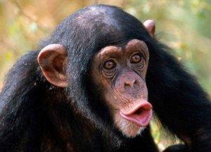 В ялтинском зооуголке шимпанзе ворует телефоны